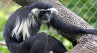 Volunteer Work Kenya: Colobus