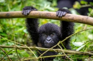 Rwanda Gorilla: This file is licensed under the Creative Commons Attribution 2.0 Generic license